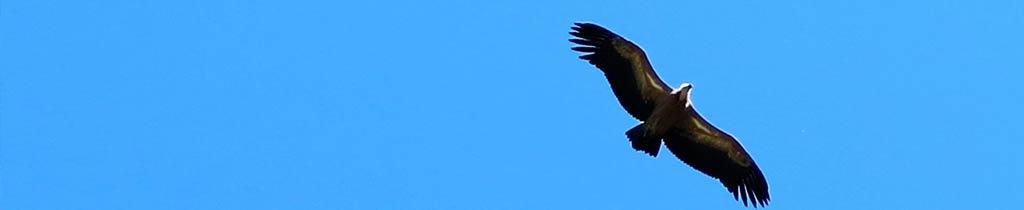 A la découverte des vautours à Rémuzat
