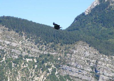 jolie vautour en plein vol