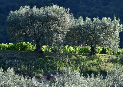 Les parcelles d'oliviers typiques de Nyons