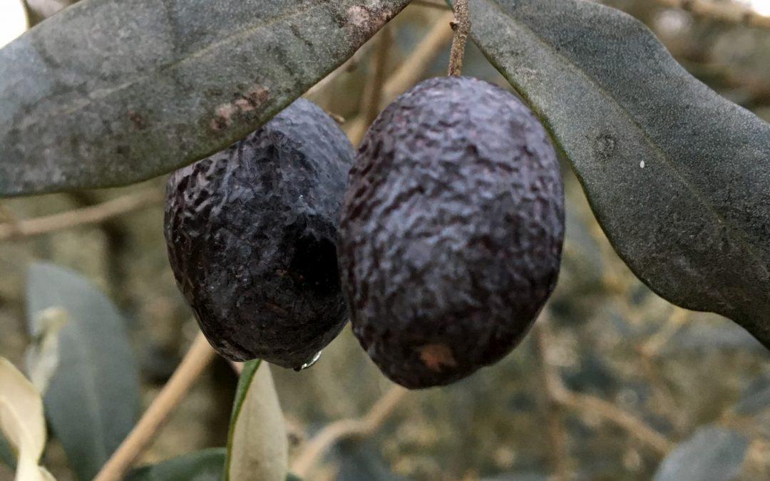 L'olive de Nyons et des Baronnies